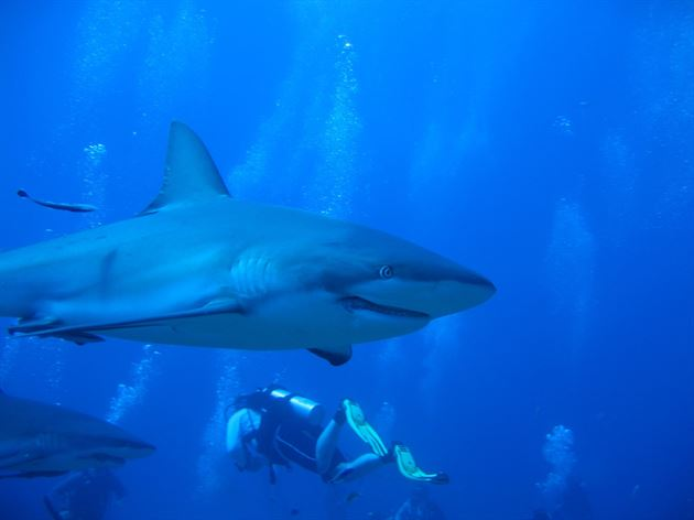 Diving with sharks in Roatan
